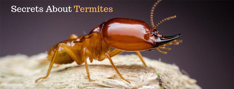 Secrets About Termites