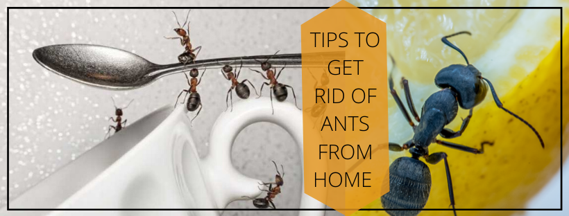 Get Rid of Ants From Home